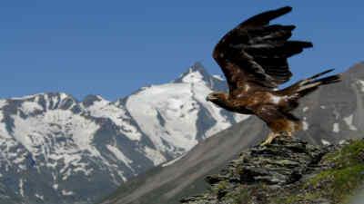 Ein Steinadler hebt zum Flug ab